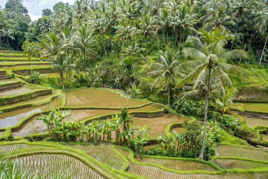 Ubud Bali Rice field