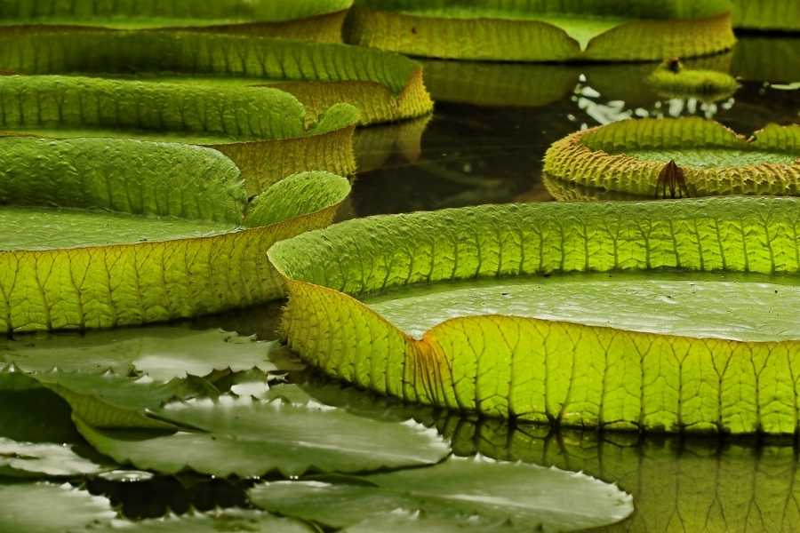 Victoria Regia Amazon