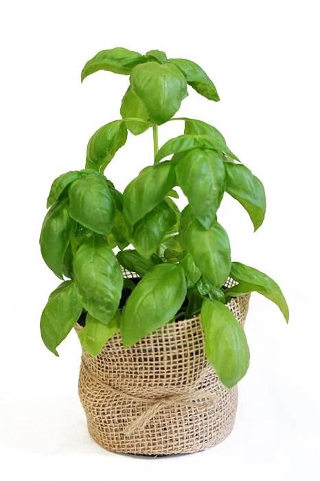 busuioc - plante de casa potrivite pentru calatori