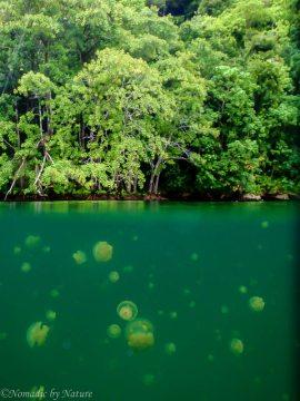 Golden Jellyfish, Jellyfish Lake, Palau