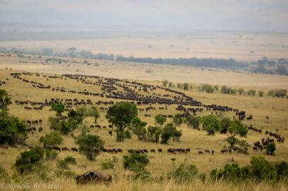 A Big Herd of Wildebeest Meandering Through the Savannah