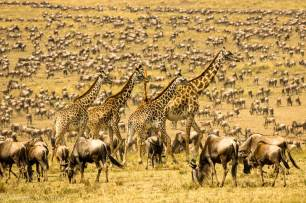 Giraffes Crossing Through The Great Migration