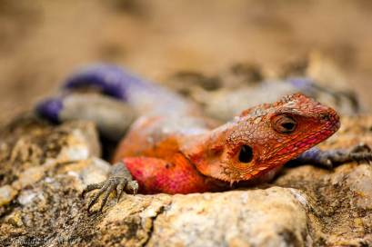 Red-headed Rock Agama, Maasai Mara