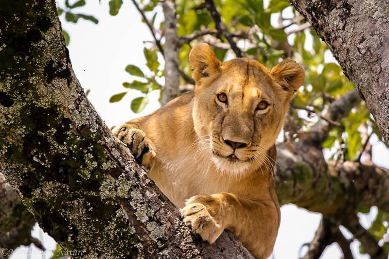 Tree Lion, Maasai Mara