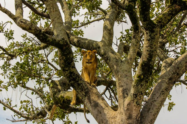 Lion Scoping the Herds from a Tree, Maasai Mara