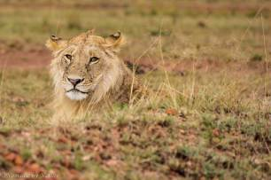 Young Male Lion Resting, Maasai Mara
