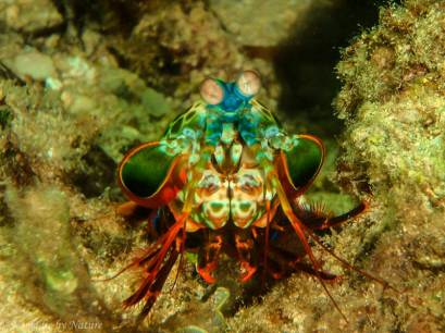 Mantis Shrimp, Malu Island, Kingdom of Tonga