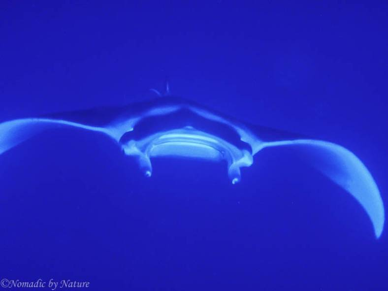 Mantaray, Wacaya Passage, Fiji Islands
