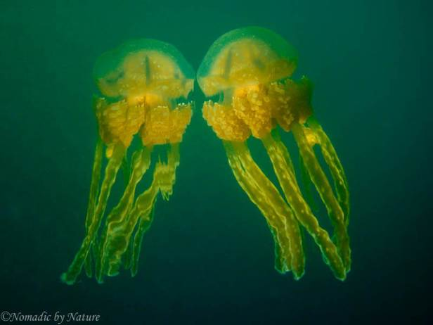 Spotted Jellyfish, The Rock Islands, Palau