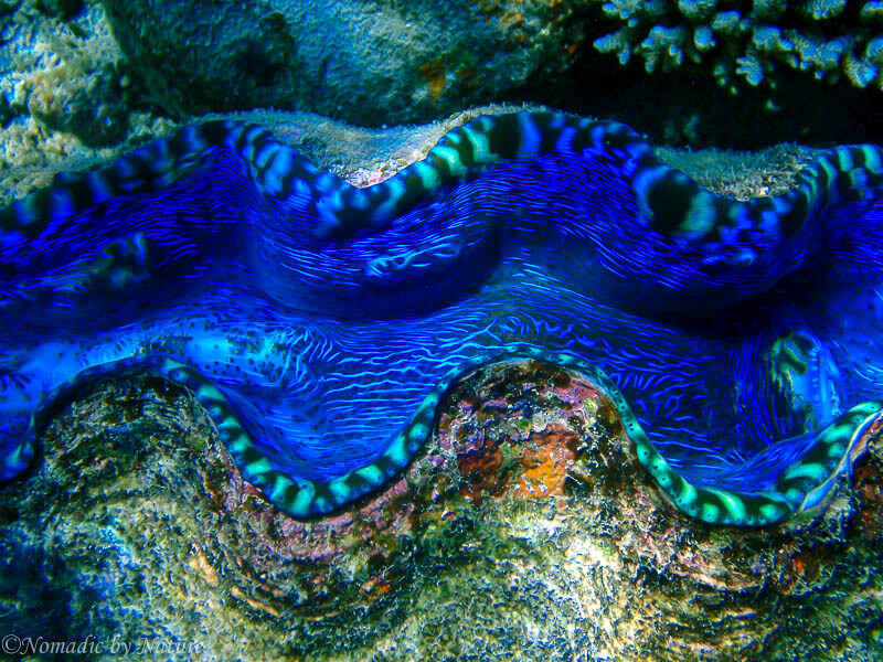 Giant Clam, Koro Island, Fiji Islands