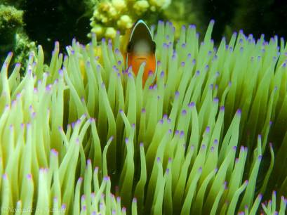 Clownfish, Beachcomber Island, Fiji Islands