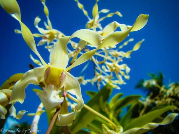 Orchids on Santa Isabel Island