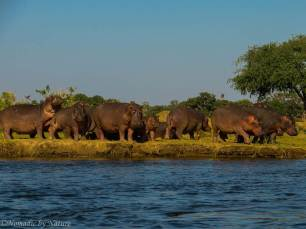 Hippos Basking in the Sun, Mana Pools