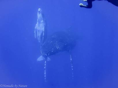 Humpback Calf Shoots for the Surface