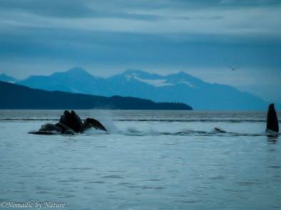 Humpbacks Hunting in Alaska