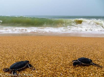 Baby Turtles Charging the Surf, Manda Island