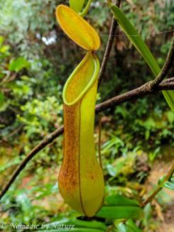 Pitcher Plant, Mount Kinabalu