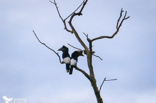 Casked Hornbills, Bigodi Wetlands, Uganda