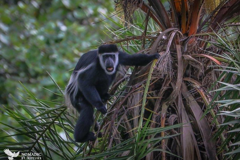 Colobus Monkey, Bigodi Wetlands, Uganda