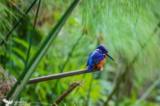 Pygmie Kingfisher, Bigodi Wetlands, Uganda