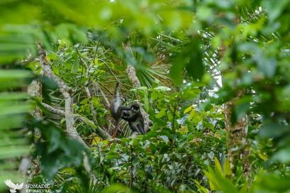 Red Tailed Monkeys Playing, Bigodi Wetlands, Uganda