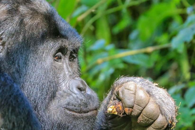 The Silverback Glances Over While Munching an Epiphyte, Bwindi, Uganda
