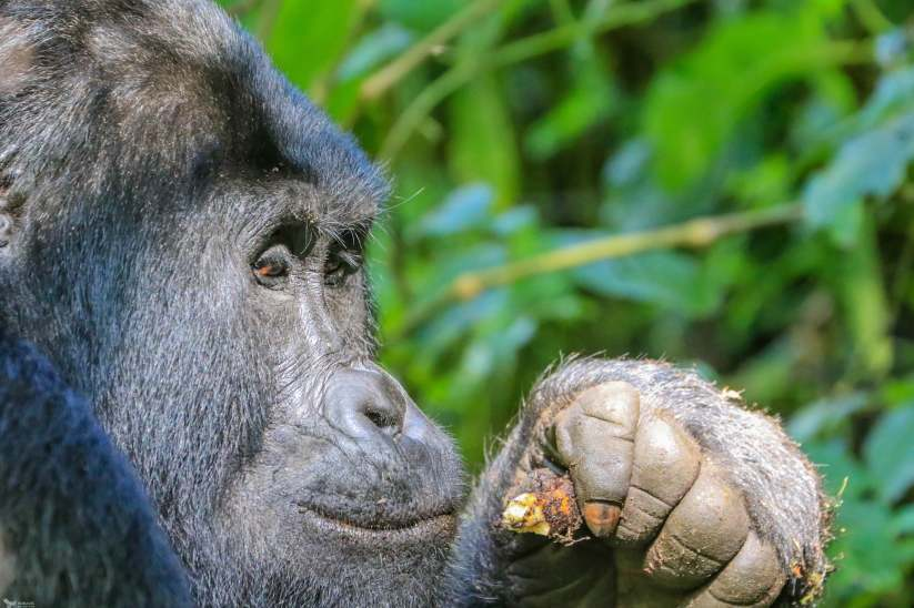 The Silverback Glances Over While Munching an Epiphyte, Bwindi, Uganda