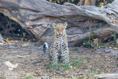 A Leopard Patrols its Territory on the Chobe Riverfront, Botswana
