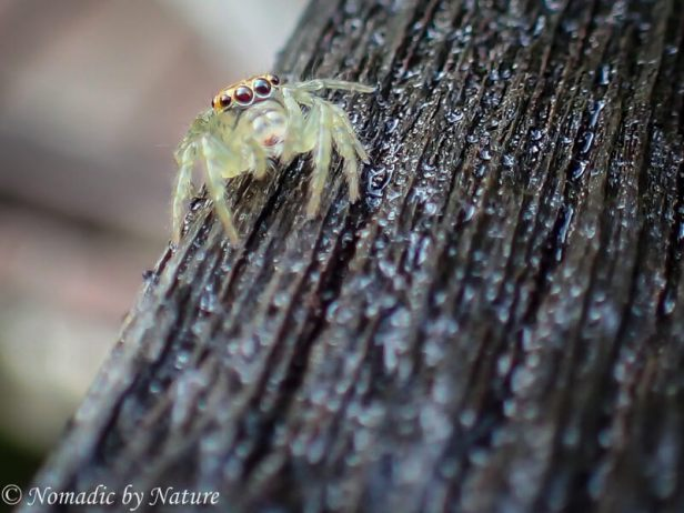 Jumping Spider, Danum Valley, Borneo