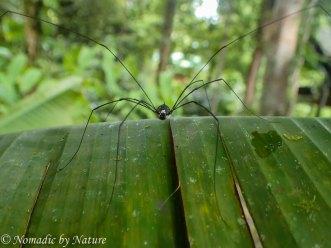 Daddy Long-legs, Danum Valley, Borneo
