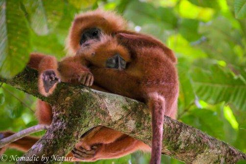 Red Leaf Monkey with Sleeping Baby, Danum Valley