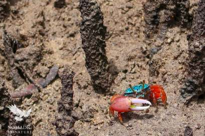 Turquoise Fiddler Crab, Ibo Island, Mozambique