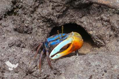 Blue and Orange Fiddler Crab, Ibo Island, Mozambique
