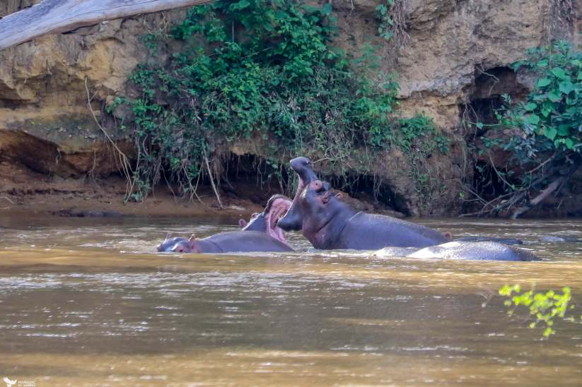 Hippos Spar in the Ishasha River, Queen Elizabeth National Park