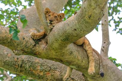 A Young Lion Finds a Shady Branch, Ishasha, Queen Elizabeth National Park