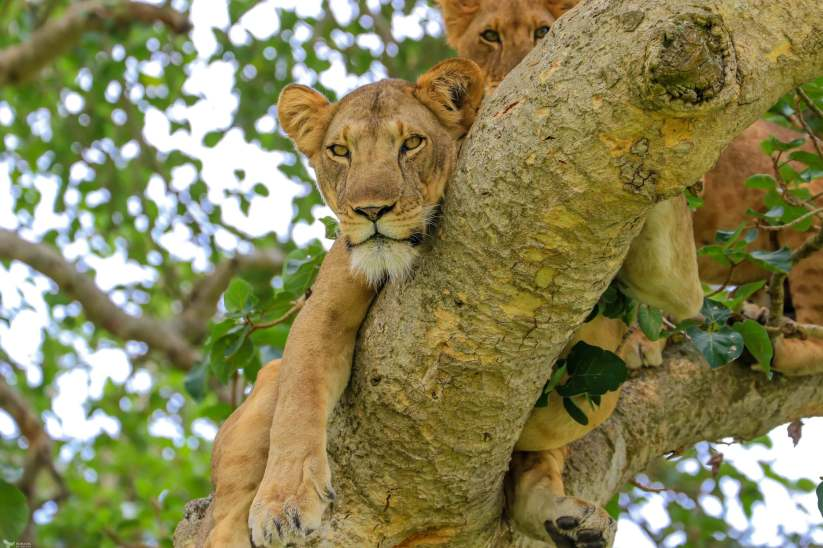 A Large Female Lions Stares Right at Me, Ishasha, Queen Elizabeth National Park