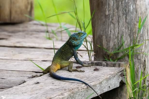 An Agama Checks Around for Danger, Ishasha, Queen Elizabeth National Park