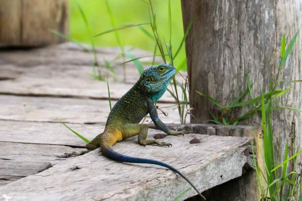 An Agama Checks Around for Danger, Ishasha, Queen Elizabeth National Park