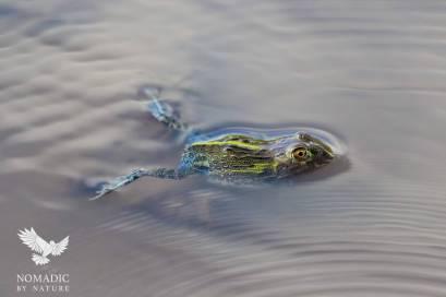 A Frog in a Puddle, Kalahari Plains, Botswana
