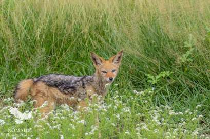 A Silver Backed Jackal, Kalahari Plains, Botswana