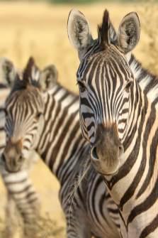 Zebra Grazing in the Khwai Savannah, Moremi Game Reserve, Botswana