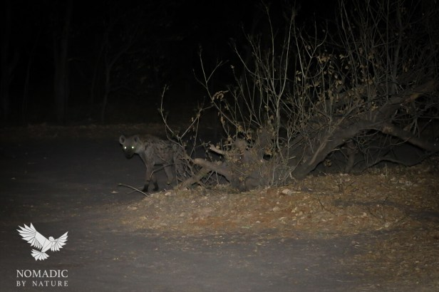 The Glowing Eyes of a Slinking Spotted Hyena, Khwai, Moremi Game Reserve, Botswana