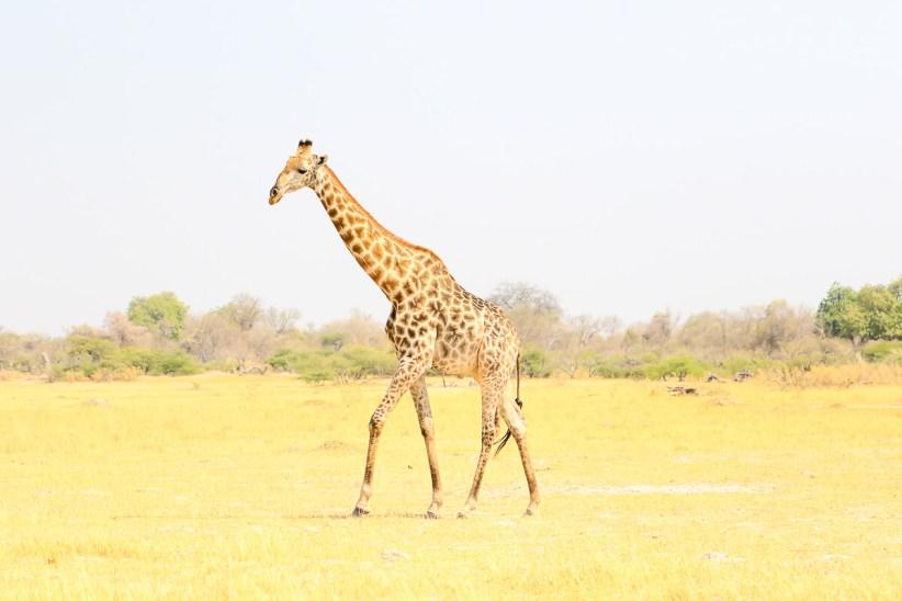 A Giraffe Searching for Water, Khwai, Moremi Game Reserve, Botswana
