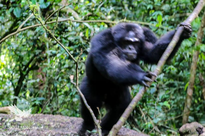 A Male Chimpanzee Charges at Me, Kibale National Park, Uganda