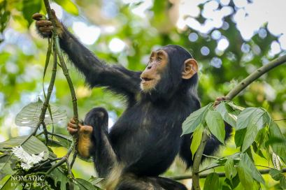 A Baby Chimpanzee Practices Swinging in the Trees, Kibale National Park, Uganda