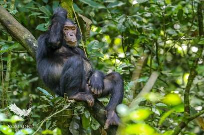 A Male Chimpanzee Lounges in a Tree, Kibale National Park, Uganda