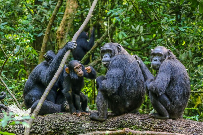 A Baby Chimpanzee Points Me Out to the Group, Kibale National Park, Uganda