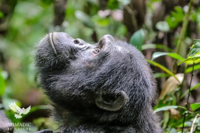 A Male Chimpanzee Scans the Treetops, Kibale National Park, Uganda