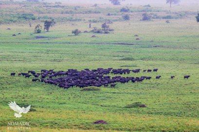 Herd of Buffalo on Full Alert, Kidepo Valley National Park, Uganda