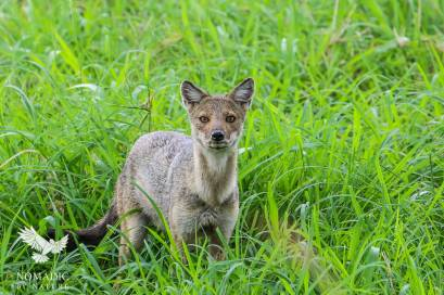 A Jackal in the Grass, Kidepo Valley National Park, Uganda